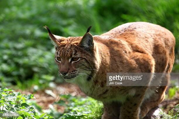 Hunthing Lynx