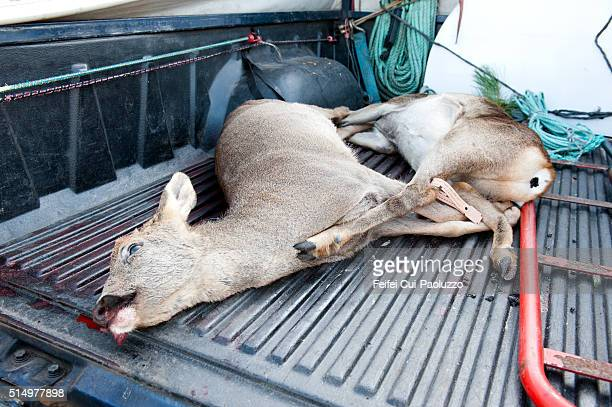 hunting at carcans aquitaine-limousin-poitou-charentes region in france - dead deer stock photos and pictures