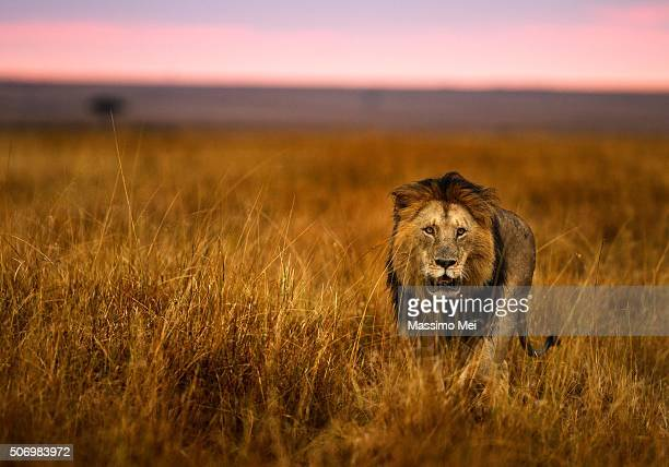 hunting at dawn - lion feline stock pictures, royalty-free photos & images