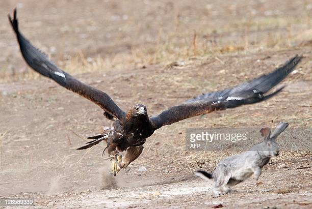 A hunting bird chases its prey a hare during a festival of traditional sports in the East Kazakhstan's city of UstKamenogorsk on September 23 2011...