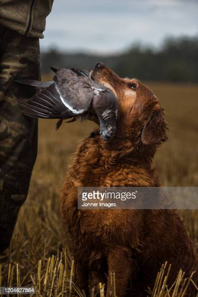hunting dog carrying dead bird - hunting dog stock pictures, royalty-free photos & images