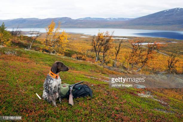 hunting dog - 猟犬 ストックフォトと画像