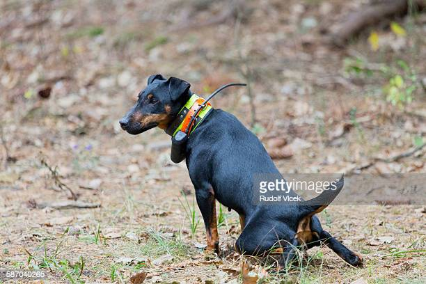 hunting dog (jagdterrier, german hunt terrier) - czech hunters stock-fotos und bilder