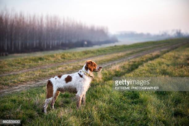 hunting dog - animals hunting stock pictures, royalty-free photos & images