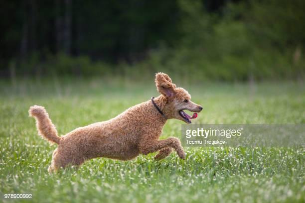 hunting dog - caniche toy photos et images de collection