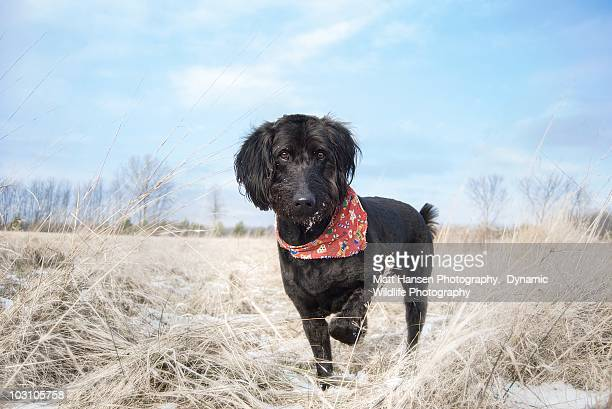 hunting dog pointing - midland michigan stock pictures, royalty-free photos & images