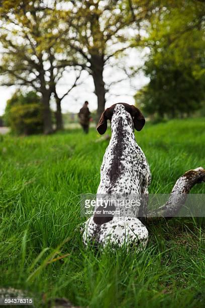 Hunting dog, rear view