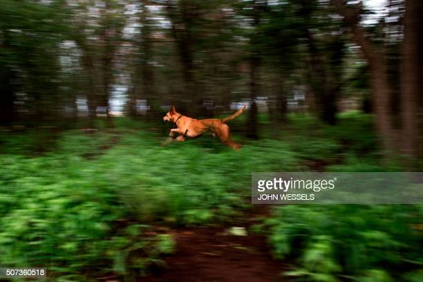 Hunting Dog Rex sprints off after he picks up the sent of an animal whilst out on a hunt in search of rabbit jackals and guinea fowls which they...