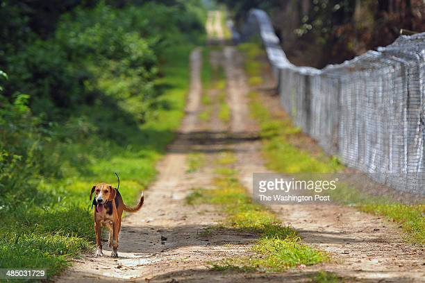 A hunting dog walks down a road near a fence that encloses the Piney Run Foxhound Training Preserve on Wednesday August 06 2013 in Milford VA The fox...