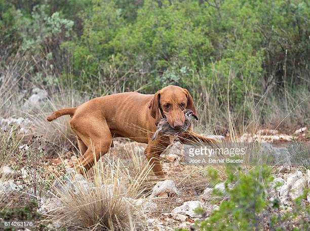 Hunting dog with a partridge in the mouth, ( Braco Hungaro)