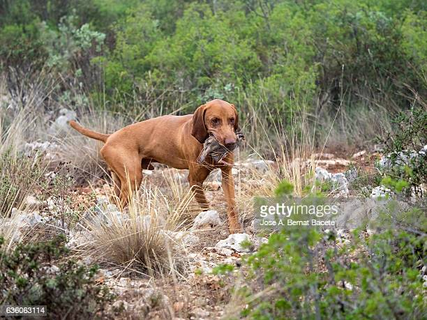 hunting dog with a partridge in the mouth, (braco hungaro) - dead dog stock pictures, royalty-free photos & images