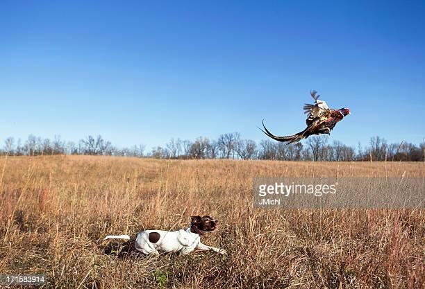 Chien de chasse avec Coq Faisan Flushing de Grass Field.