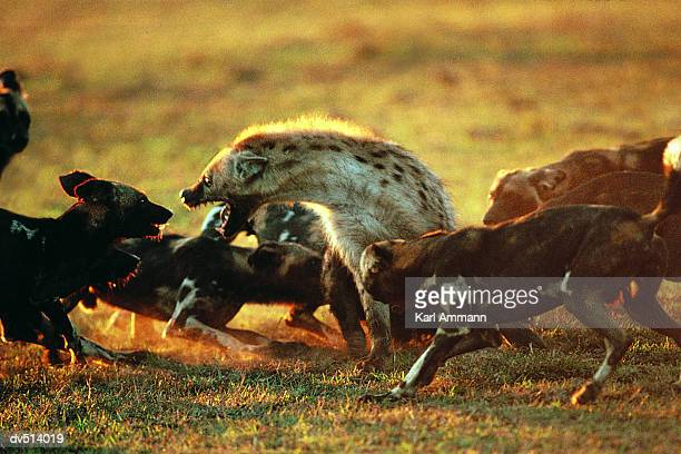 Hunting Dogs (Lycaon pictus) attacking Hyena (Hyaena hyaena)
