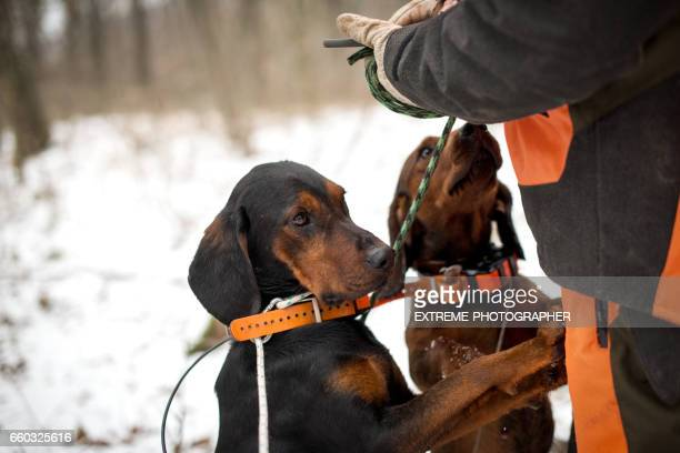 hunting dogs - hunting dog stock pictures, royalty-free photos & images