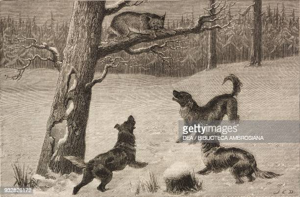 Hunting dogs treeing a lynx illustration from the magazine The Graphic volume XX no 526 December 27 1879