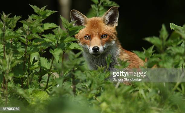 A hunting Fox peeking out of the Stinging Nettles.