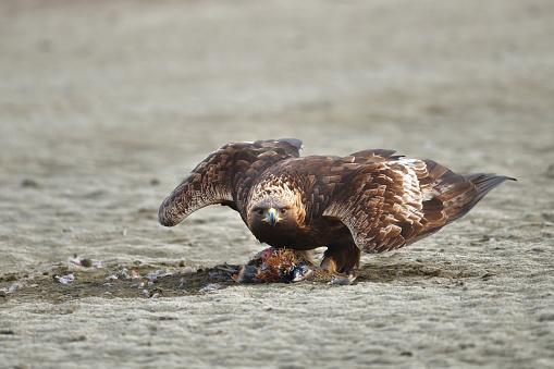Hunting Golden Eagle - gettyimageskorea