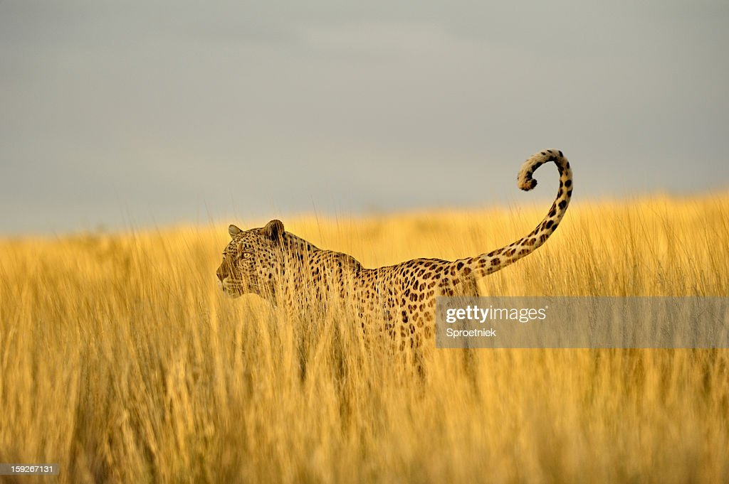 Hunting leopard in tall Kalahari grass : Stock Photo