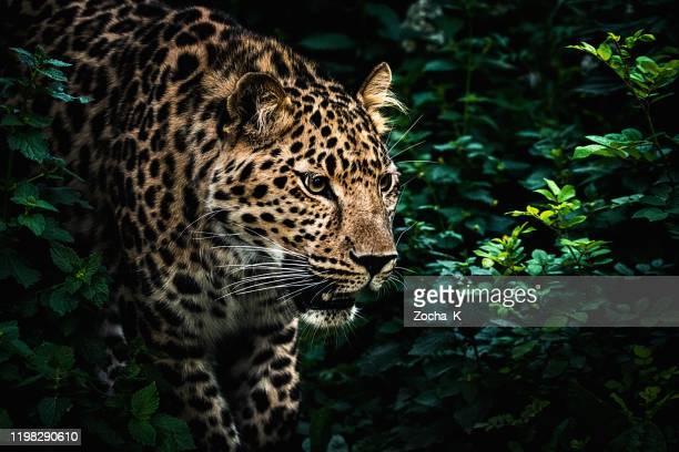 狩猟ヒョウの肖像画 - 待ち伏せ ストックフォトと画像