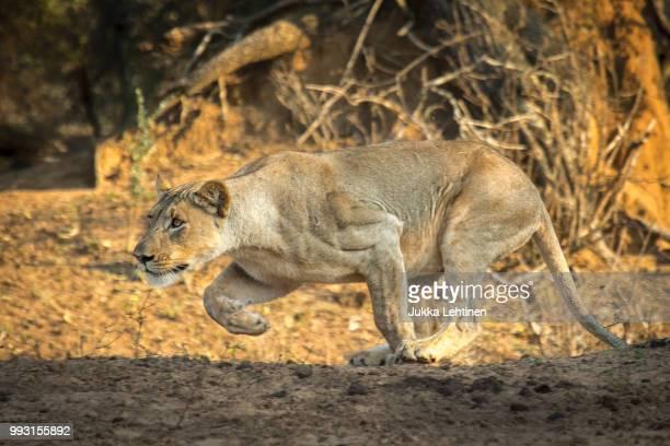 hunting lioness in the sunrise - leones cazando fotografías e imágenes de stock