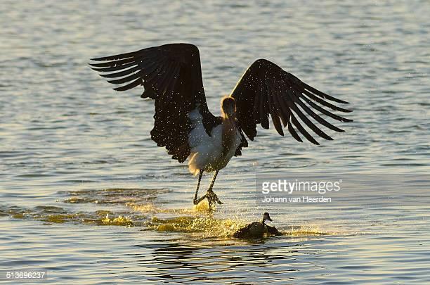 hunting marabou stork - marabout photos et images de collection