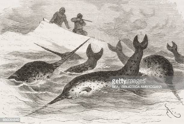 Hunting narwhals drawing by Edouard Riou from Polaris Expedition and Six Months on an Icefloe 18701873 by Lieutenant George E Tyson from Il Giro del...