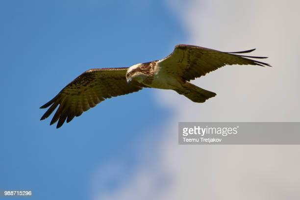 Hunting osprey in the sky