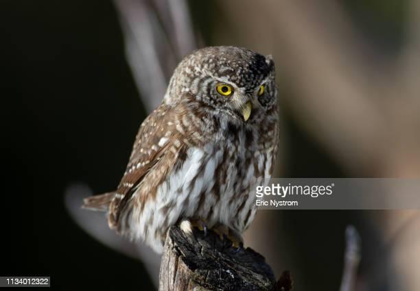 hunting owl - fågel imagens e fotografias de stock