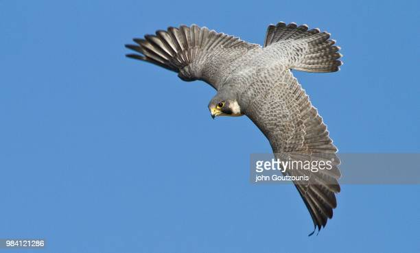 hunting - peregrine falcon stock pictures, royalty-free photos & images