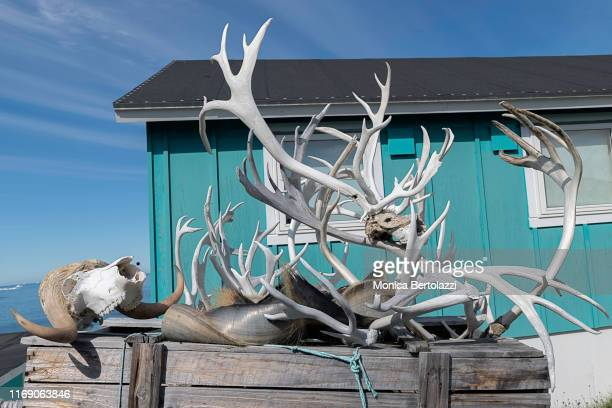 hunting remains and bones - ilimanaq stock-fotos und bilder