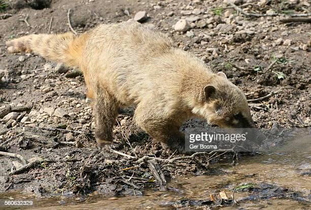 hunting ring-tailed coati - coati stock pictures, royalty-free photos & images