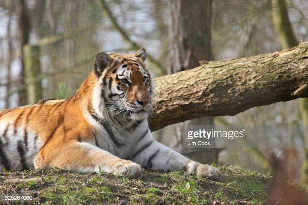 hunting tiger - wildlife reserve stock pictures, royalty-free photos & images