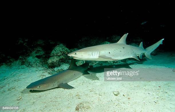 Hunting Whitetip reef shark and scuba diver Triaenodon obesus Costa Rica Pacific Ocean Cocos Island Latin america