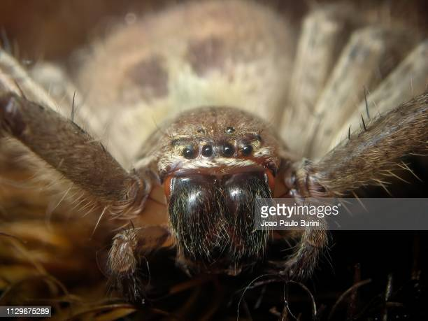 huntsman spider face macro - huntsman spider stock pictures, royalty-free photos & images