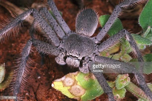 Huntsman spider family Heteropodidae Kalgoorlie Western Australia
