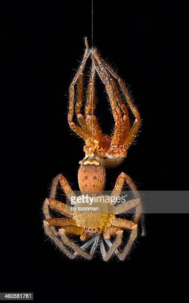 huntsman spider molting - huntsman spider stock pictures, royalty-free photos & images