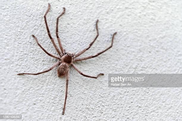 huntsman spider on a wall - rafael ben ari 個照片及圖片檔