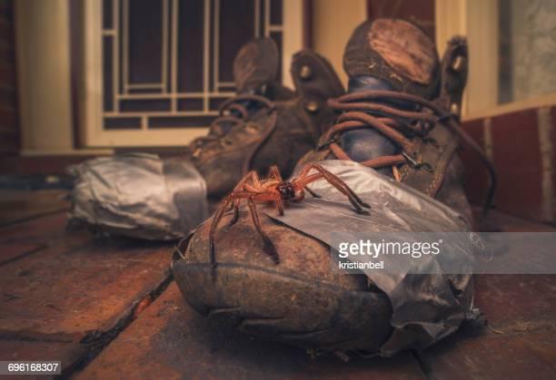 huntsman spider on old walking boots - huntsman spider stock pictures, royalty-free photos & images