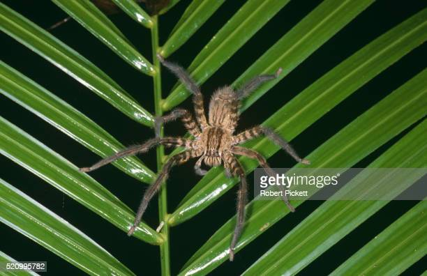 huntsman spider on palm frond - huntsman spider stock pictures, royalty-free photos & images