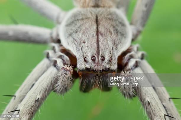 huntsman spider - huntsman spider stock pictures, royalty-free photos & images