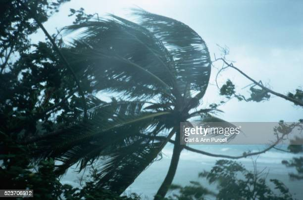 Hurricane Gilbert Blows the Treetops