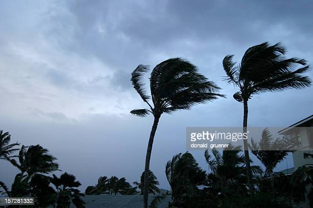 Hurricane or tropical storm wind buffeting palm trees