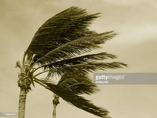 hurricane palms 2 sepia - extreme weather stock photos and pictures