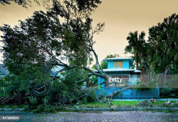 hurricane winds knock down an oak tree (hurricane irma) - hurricane storm stock pictures, royalty-free photos & images