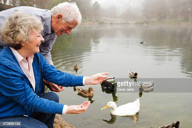 husband and wife feeding ducks by the lake - duck bird stock photos and pictures
