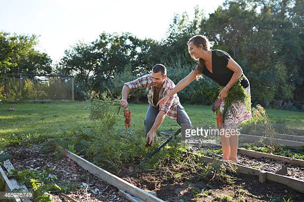 Husband & wife harvesting carrots in their garden