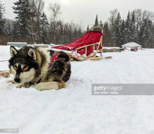 huskie at rest - mont tremblant stock pictures, royalty-free photos & images