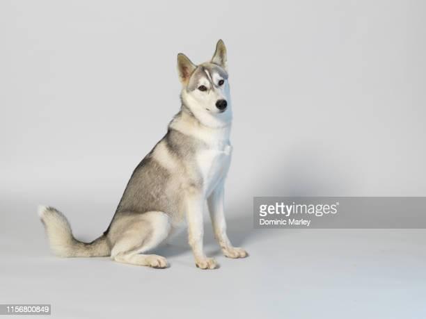 huskie - そり犬 ストックフォトと画像