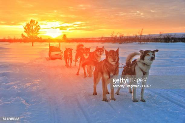 Huskies in the snow at sunset, Finland