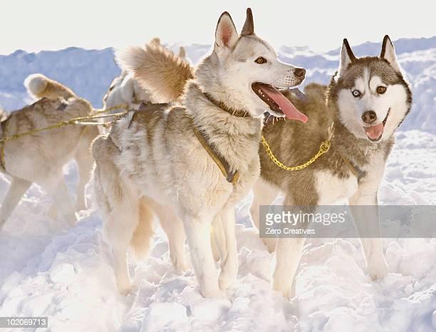 Huskies in winter